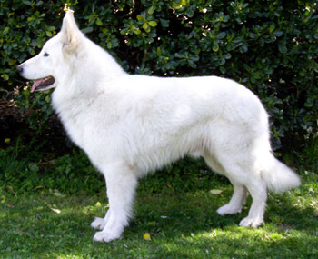 Berger blanc suisse en statique